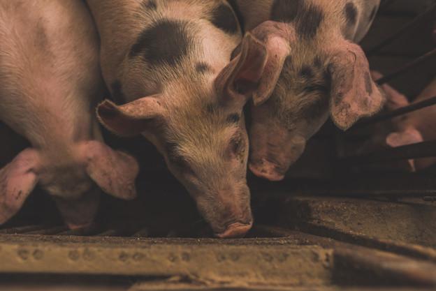 Tiga babi yang sedang mencari makanan di kandang