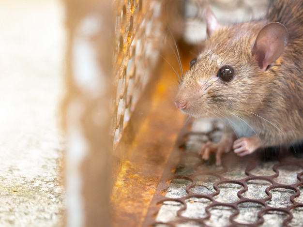 Seekor tikus yang merupakan salah satu pembaa bakteri penyebab leptospirosis